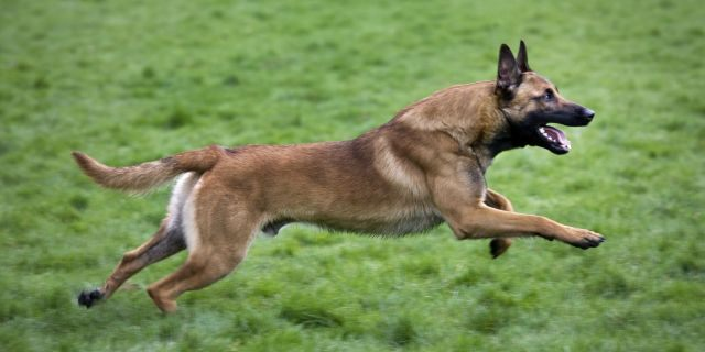 A Belgian shepherd dog or Malinois, similar to a dogs linked to a teen