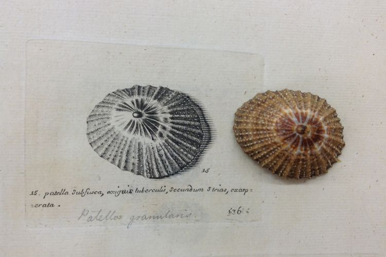 An eccentric devotion: book resurfaces overlooked mollusc art by English naturalist's daughters