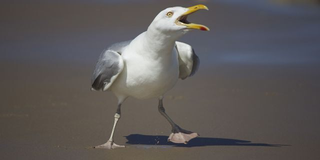 Herring gulls— the ones which allegedly attacked the Pickards— are protected while they nest, according to local officials.