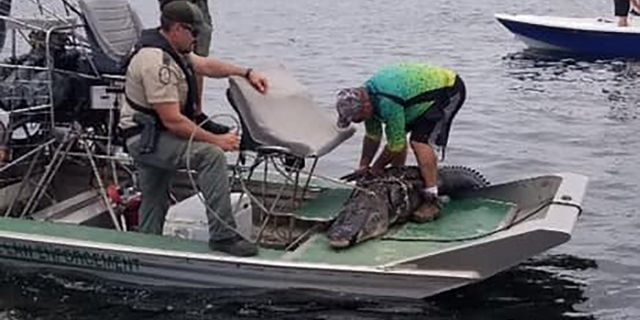 The alligator was 12-15 feet long, the sheriff's office said. It reportedly weighed nearly 300 pounds.