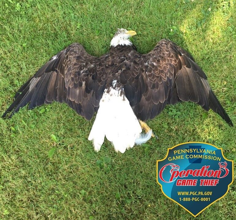 Pennsylvania officials ask for help to nab bald eagle killer