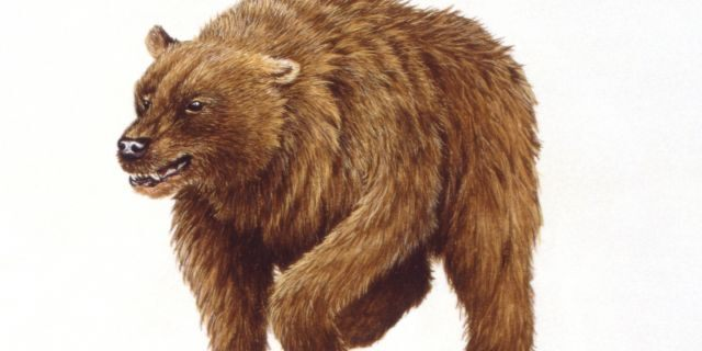 The cave bear also faced shrinking food resources and the start of the last Ice Age.
