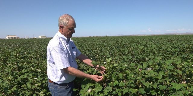 Arizona farmer Dan Thelander examines his cotton crop.