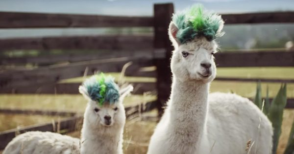 Alpacas Get Funky New 'Dos in Samsung's Playful Galaxy Note 10 Campaign – Adweek