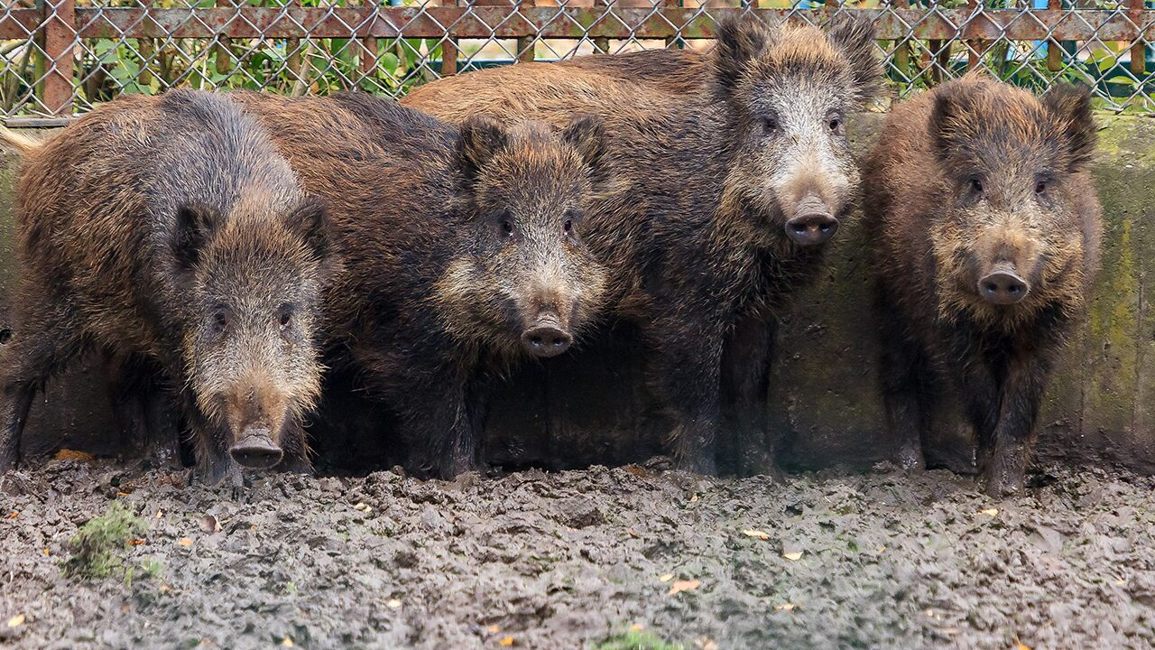 Feral hogs headed for US from Canada; wildlife officials warn of widespread damage