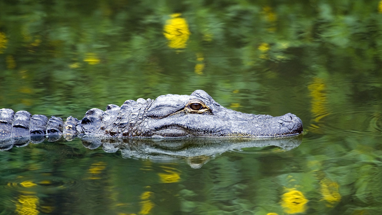 Alligator attack suspected in Florida woman's death, sheriff says